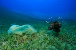 Plastic bag and Lionfish